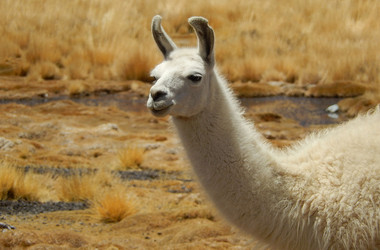 Lama in der Steppe