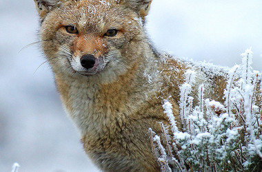 Fuchs im Nationalpark Torres del Paine