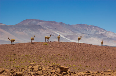 Guanakos in der Atacamawüste in Chile